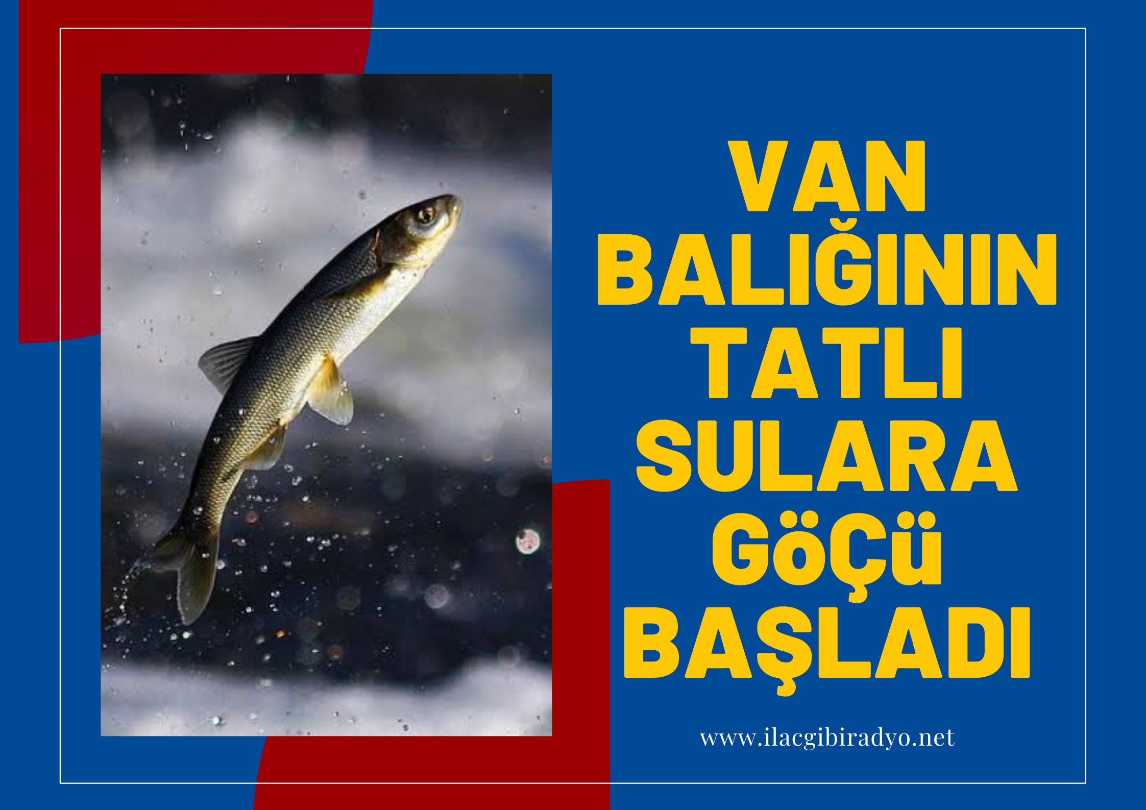 Van Balığının tatlı sulara göçü başladı