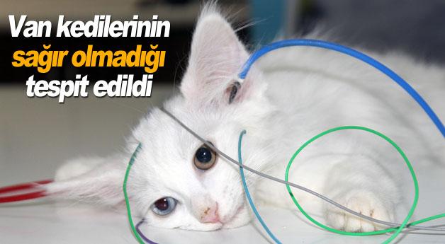 Van kedilerinin sağır olmadığı tespit edildi