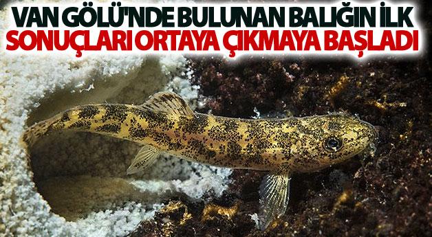 Van Gölü'nde bulunan balığın ilk sonuçları ortaya çıkmaya başladı