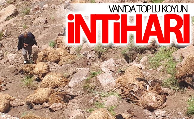 Van'da toplu koyun intiharı